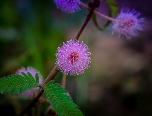 5 Interesting Facts About Mimosa Pudica